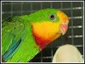 papousek nádherný - samec - detail hlavy